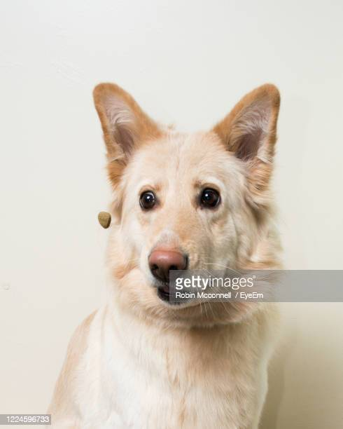 close-up portrait of dog against white background - german shepherd stock pictures, royalty-free photos & images