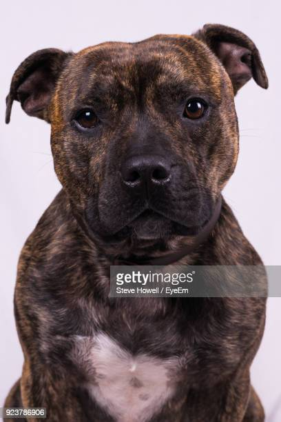 Close-Up Portrait Of Dog Against White Background