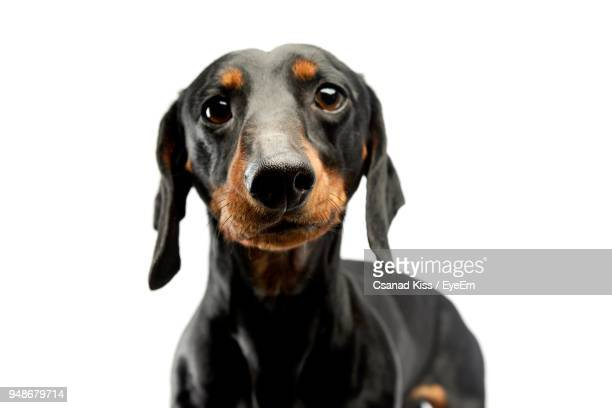 close-up portrait of dog against white background - dachshund stock pictures, royalty-free photos & images