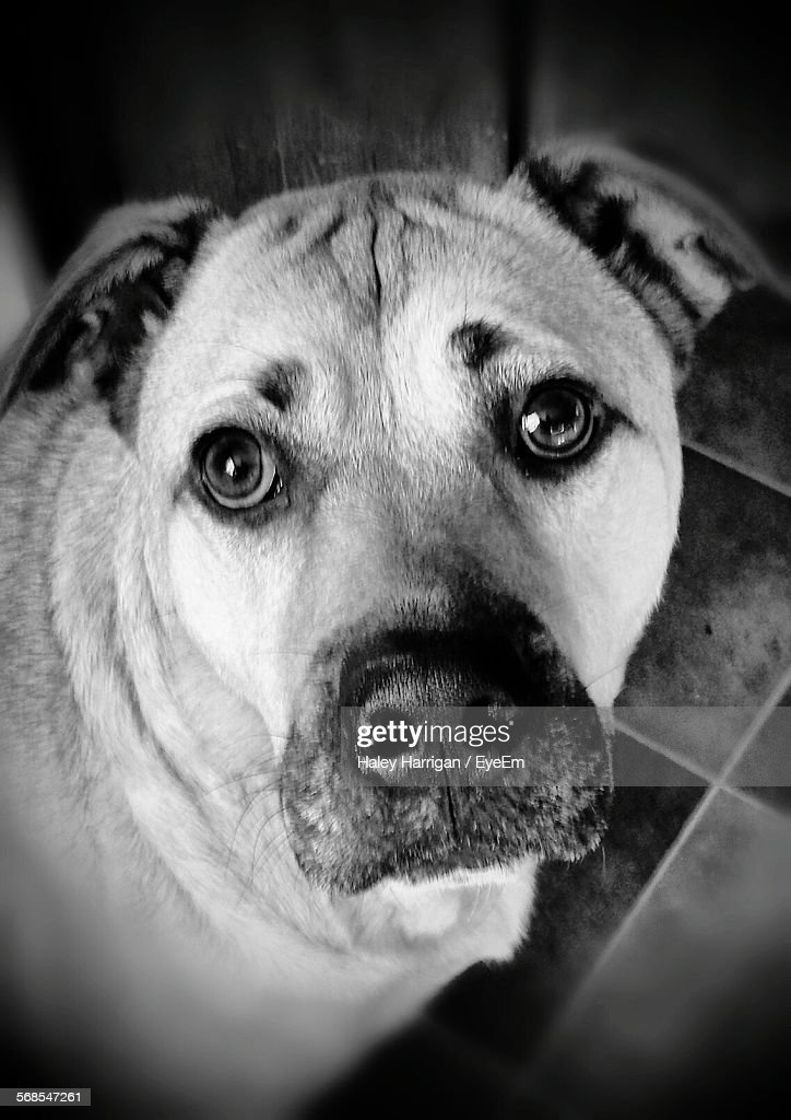 Close-Up Portrait Of Dog At Home : Stock Photo