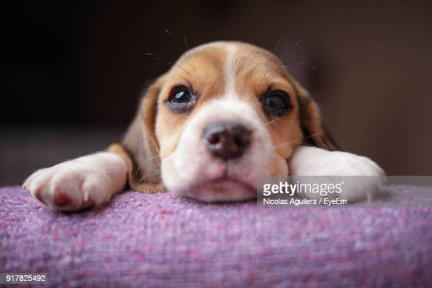 close-up portrait of dog at home - puppies - fotografias e filmes do acervo