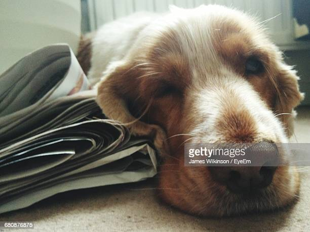 Close-Up Portrait Of Dog By Newspapers Relaxing On Rug At Home