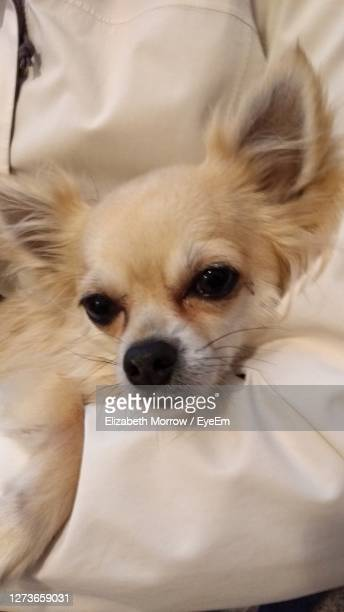 close-up portrait of dog chihuahua - truro cornwall stock pictures, royalty-free photos & images