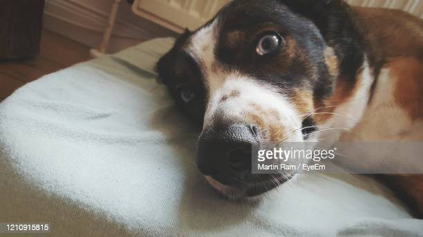 close-up portrait of dog lying down on bed at home - モバイル撮影 ストックフォトと画像