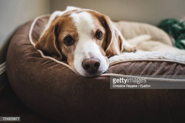 close-up portrait of dog lying down - pet bed stock pictures, royalty-free photos & images