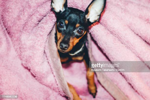 Close-Up Portrait Of Dog Lying On Pink Blanket