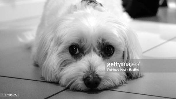 Close-Up Portrait Of Dog Lying On Tiled Floor