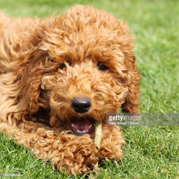 close-up portrait of dog on field - dave ashwin stock pictures, royalty-free photos & images