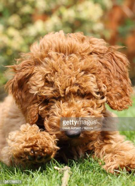 close-up portrait of dog on field,melton mowbray,united kingdom,uk - dave ashwin stock pictures, royalty-free photos & images