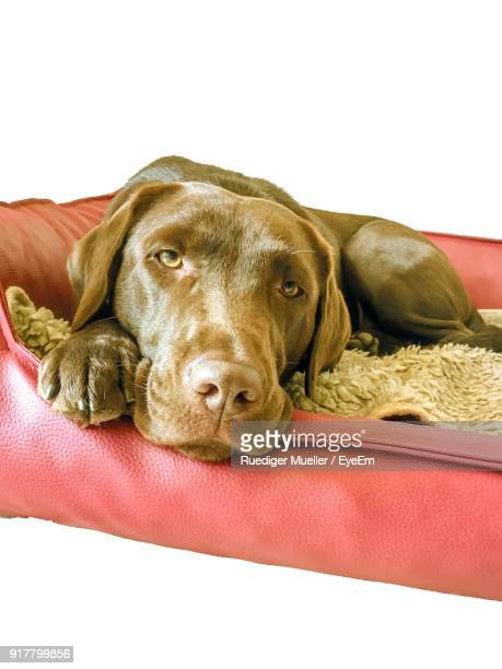 Close-Up Portrait Of Dog On Pet Bed Against White Background
