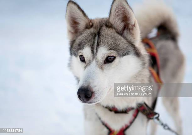 close-up portrait of dog on snow - paulien tabak stock pictures, royalty-free photos & images