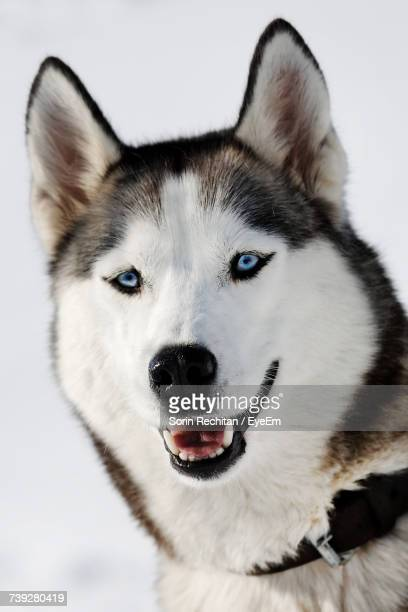 Close-Up Portrait Of Dog On Snow