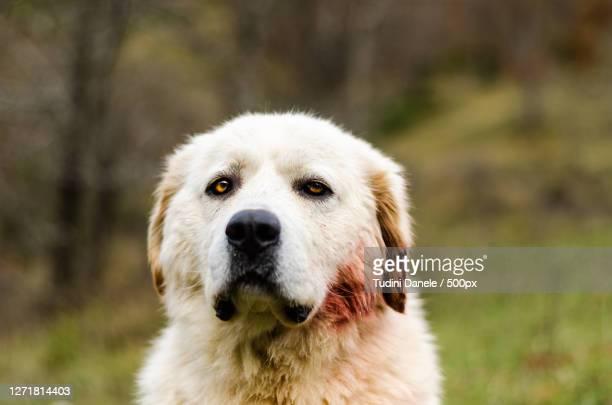 close-up portrait of dog, opi, italy - pastore maremmano foto e immagini stock