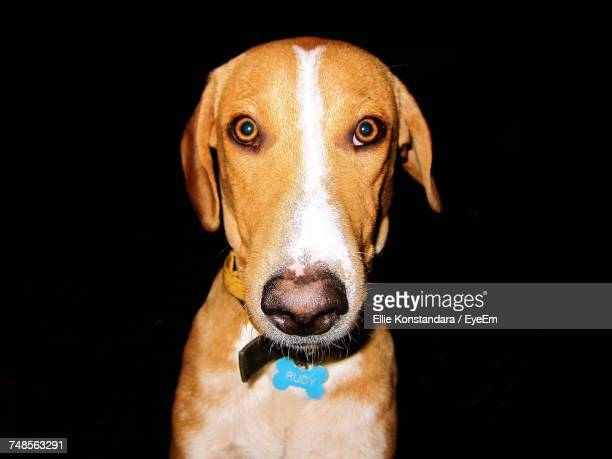 close-up portrait of dog over black background - ellie brown stock pictures, royalty-free photos & images