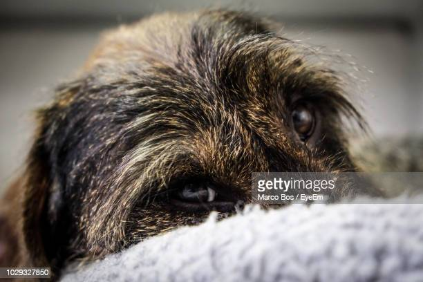 close-up portrait of dog - bos stock pictures, royalty-free photos & images