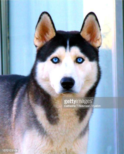 close-up portrait of dog - sled dog stock pictures, royalty-free photos & images