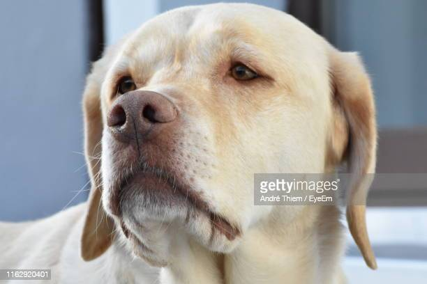 close-up portrait of dog - thiem stock pictures, royalty-free photos & images