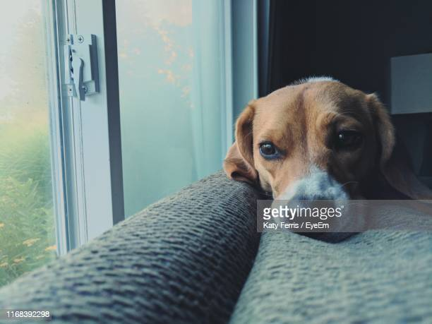close-up portrait of dog - beagle stock pictures, royalty-free photos & images