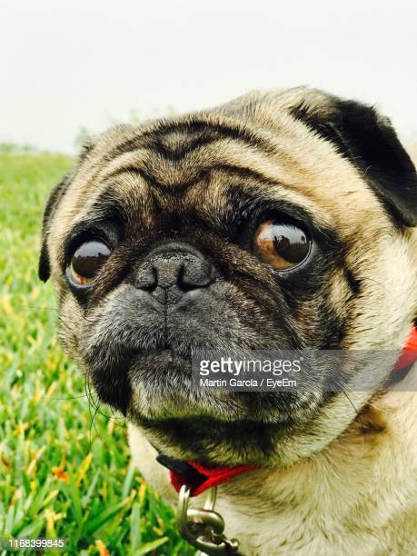 close-up portrait of dog - nuevo leon stock pictures, royalty-free photos & images
