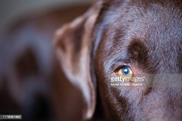 close-up portrait of dog - eye stock pictures, royalty-free photos & images