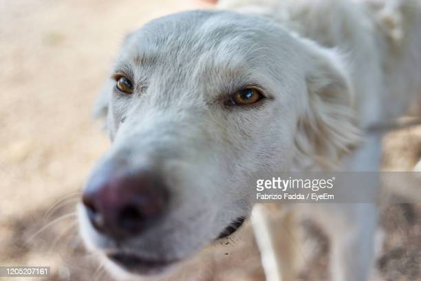 close-up portrait of dog - pastore maremmano foto e immagini stock
