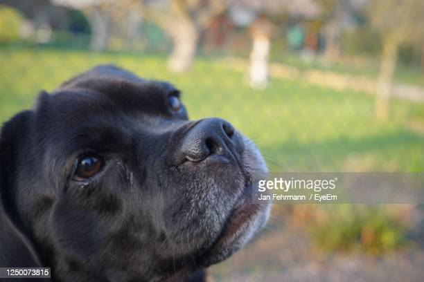 close-up portrait of dog - puggle stock pictures, royalty-free photos & images