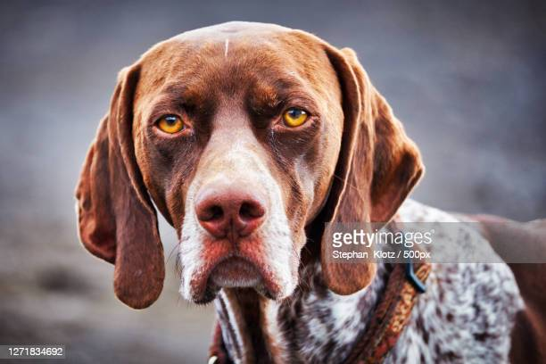 close-up portrait of dog - pointer dog stock pictures, royalty-free photos & images