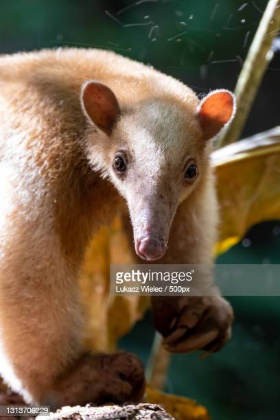 close-up portrait of dog - anteater stock pictures, royalty-free photos & images