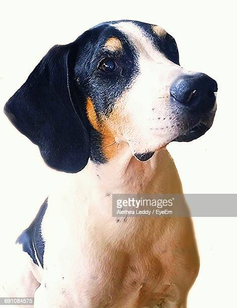 close-up portrait of dog - coonhound stock pictures, royalty-free photos & images