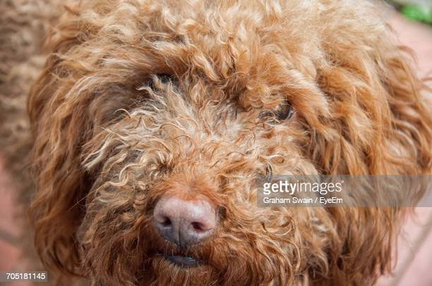 close-up portrait of dog - labradoodle stock photos and pictures