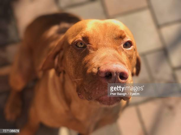 close-up portrait of dog - hungary stock pictures, royalty-free photos & images