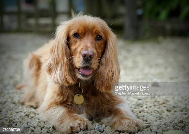 close-up portrait of dog - cocker spaniel stock photos and pictures
