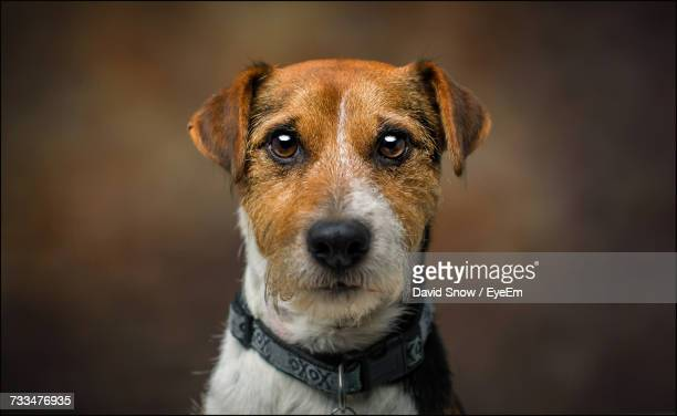 close-up portrait of dog - jack russell terrier bildbanksfoton och bilder