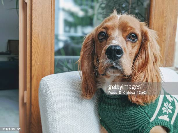 close-up portrait of dog relaxing at home - fouad el-khabbaz stock pictures, royalty-free photos & images