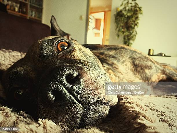 Close-Up Portrait Of Dog Relaxing At Home