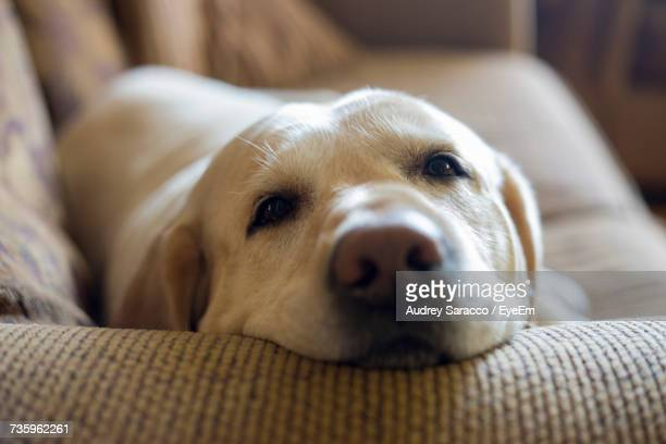 Close-Up Portrait Of Dog Relaxing On Bed At Home
