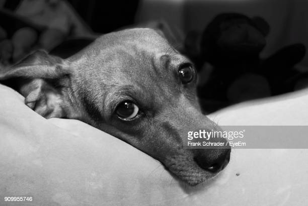 close-up portrait of dog relaxing on bed at home - frank schrader stock pictures, royalty-free photos & images