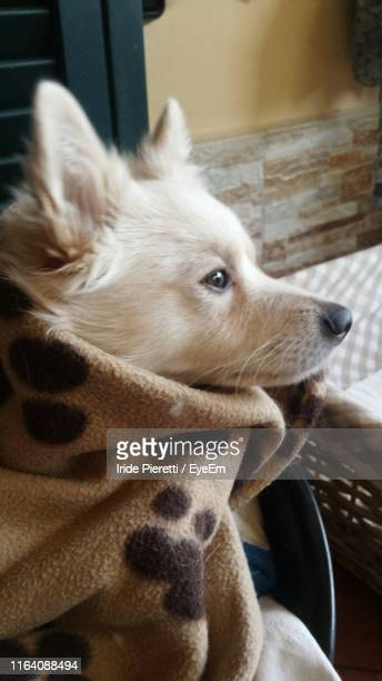close-up portrait of dog relaxing - massa stock pictures, royalty-free photos & images