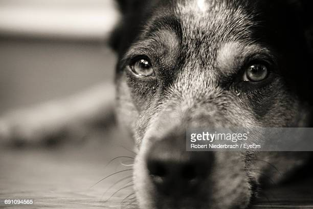 close-up portrait of dog resting on floor - carnivora stock photos and pictures