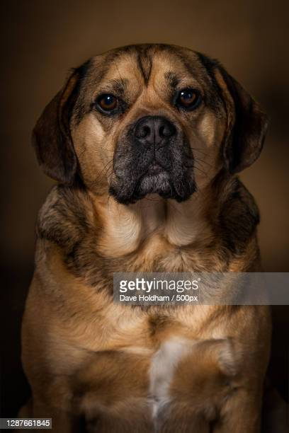 close-up portrait of dog sitting against black background,bridgend,united kingdom,uk - puggle stock pictures, royalty-free photos & images