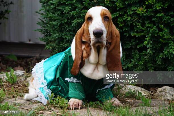 close-up portrait of dog sitting on tree - basset hound stock pictures, royalty-free photos & images