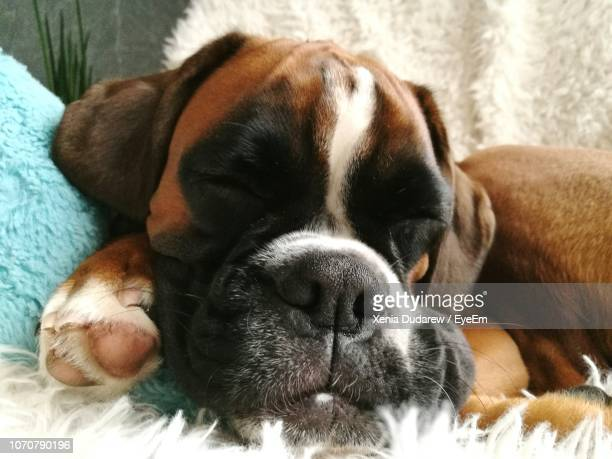 close-up portrait of dog sleeping on bed at home - boxer dog stock pictures, royalty-free photos & images