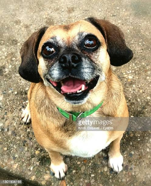 close-up portrait of dog smiling with mouth open and tongue showing - puggle stockfoto's en -beelden