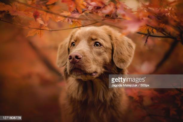 close-up portrait of dog standing on field during autumn, wrocaw, poland - nova scotia duck tolling retriever stock pictures, royalty-free photos & images
