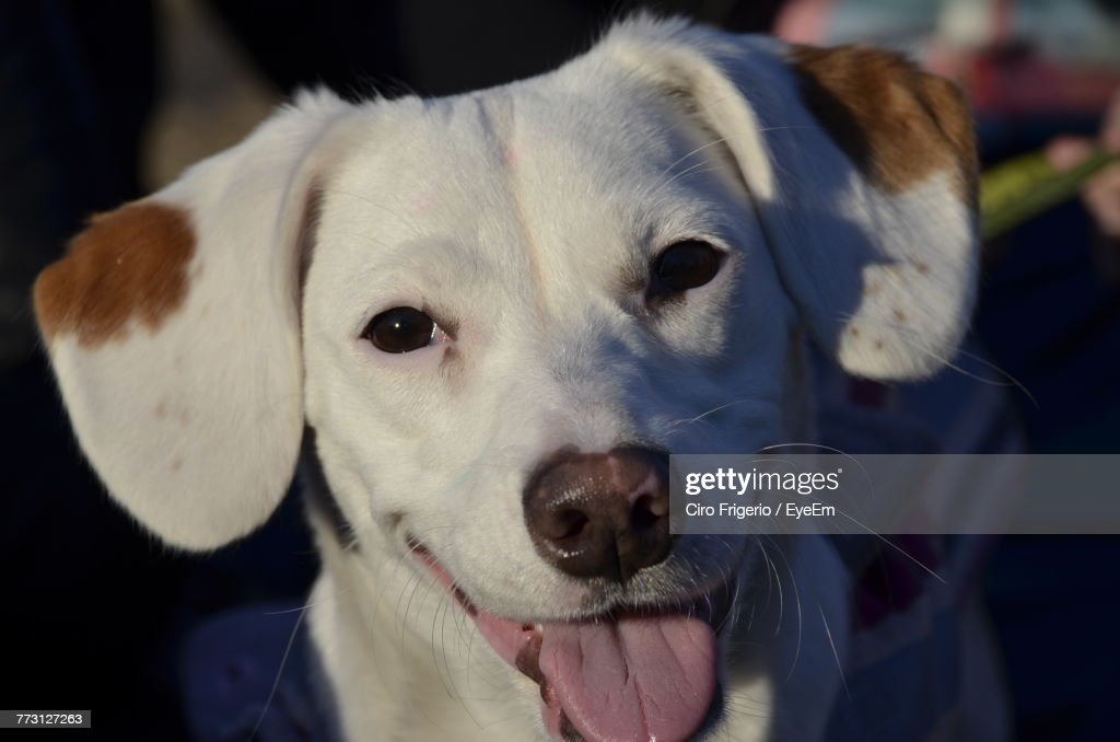 Close-Up Portrait Of Dog Sticking Out Tongue : Photo