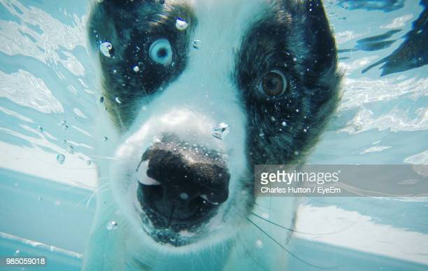 Close-Up Portrait Of Dog Swimming In Pool
