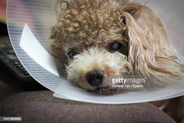close-up portrait of dog wearing protective collar - elizabethan collar stock photos and pictures
