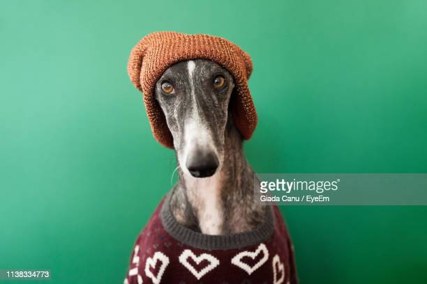 close-up portrait of dog wearing sweater and knit hat against green background - abiti pesanti foto e immagini stock