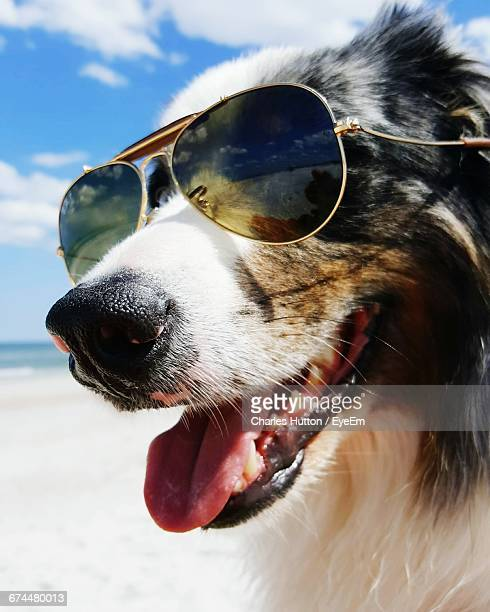 Close-Up Portrait Of Dog With Sunglasses