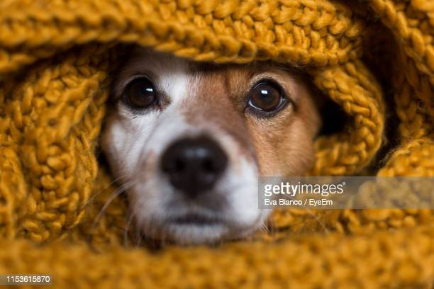 close-up portrait of dog wrapped in blanket - blanket stock pictures, royalty-free photos & images